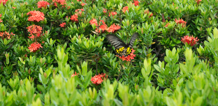 butterfly  on red flowers in sukhothai