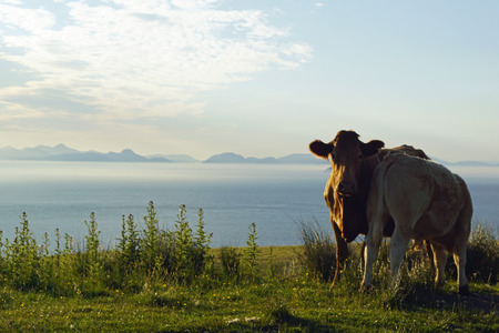 Cows at the Skye Museum of Iceland Life.