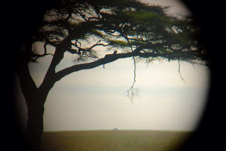 pardus: Leopard Panthera pardus on the tree in Serengeti national park, Tanzania, Africa. View from monocular. Stock Photo
