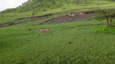 savana: Walking lion while safari in the Ngorongoro national park, Tanzania, Africa. Green savanna with trees and bushes.