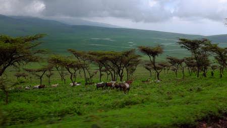 Masai 'Ziegen während Safari in Ngorongoro Nationalpark, Tansania, Afrika. in Bewegung aus dem Auto blured. Grüne Savanne mit Bäumen, bewölkten Tag.