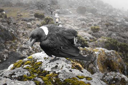 pompous: White-necked raven on the rocks near Kilimanjaro Stock Photo