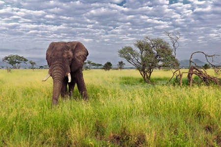 mate: Big elephant mate, serengeti adventure safari Stock Photo