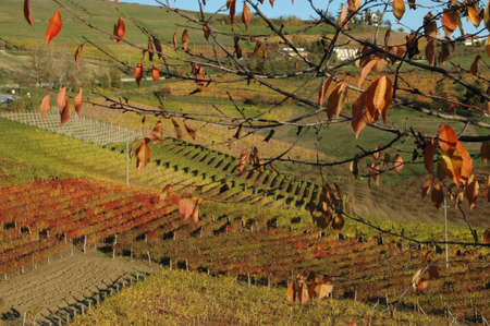 nebbiolo: Langhe is a world well known place for wine production. Red autumn vineyards and leaves tree. Stock Photo