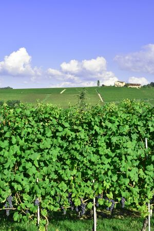 This photo represents a view of vineyards of Barolo, Piedmont, Italy