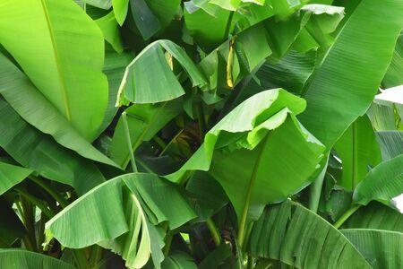 Close up of a banana tree. Imagens - 131618961
