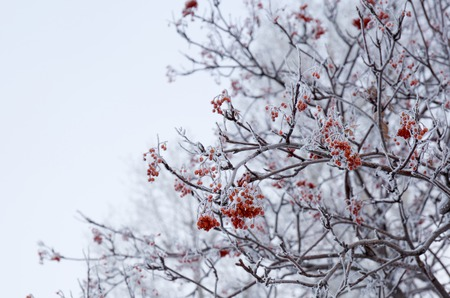 frosty: Red berries in the frost. Winter landscapes