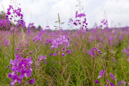 Summer Landscape with a field of blooming fireweed or willow-herb.