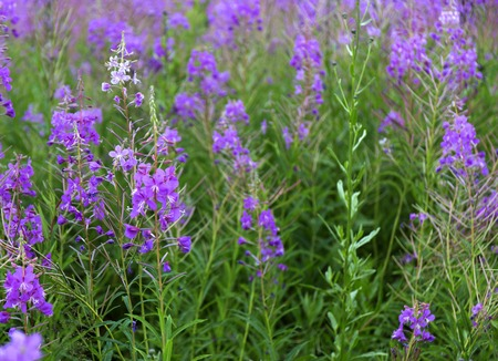 fireweed: Summer Landscape with a field of blooming fireweed or willow-herb.