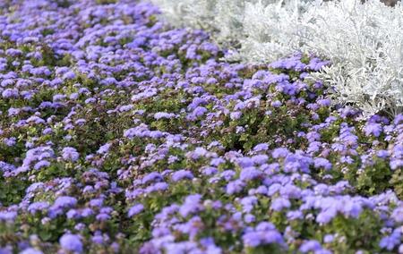 flower fields: Blue summer flower fields. Floral blur background Stock Photo