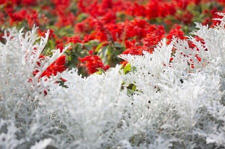 miller: Cineraria maritima silver dust. Soft Focus Dusty Miller Plant. Background Texture.