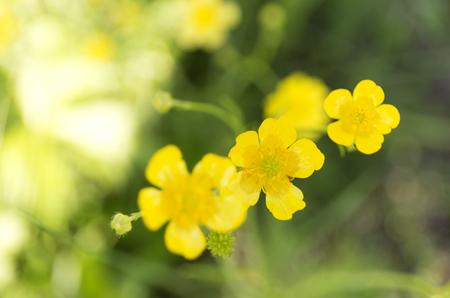 millefolium: Selandine. Yellow flower. Wildflowers on blur green background.