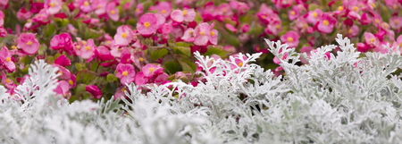 Cineraria maritima silver dust and summer pink flowers. Soft Focus Dusty Miller Plant. Background Texture