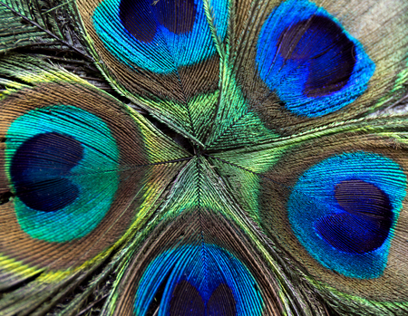 Beautiful peacock feathers. Close up green and blue blur background. Macro defocused pattern. Stock Photo