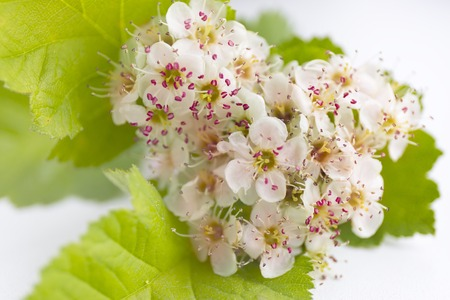 Closeup view of hawthorn blossom on white background. Macro spring flowers.