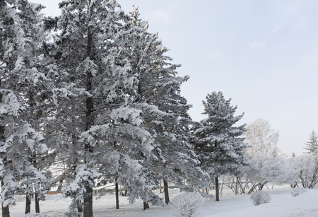 Snow covered fir trees. Winter frost forest. Cold december moning in the park.