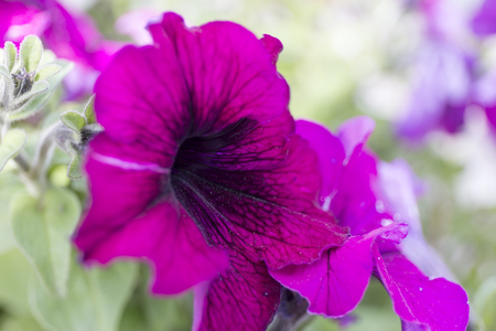 Dark purple petunias on blur background. Close up flowers.