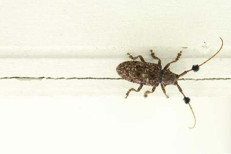Longhorn beetle on painted wood. Tropical big bug Reklamní fotografie