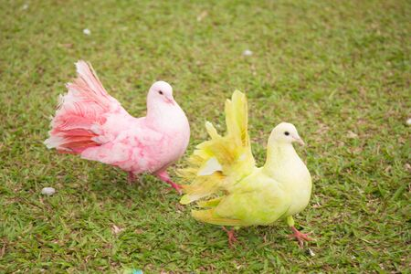 Pair of doves on green grass background. Couple in love of colorful pigeons.