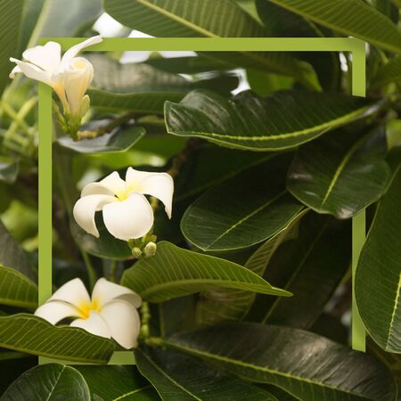 Tropical white frangipani flowers on green leaves background. Tropical green frame.