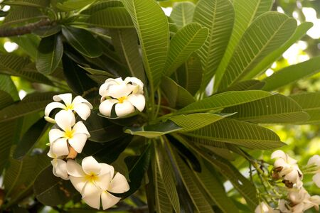 Tropical white frangipani flowers on green leaves background. Close up plumeria tree.