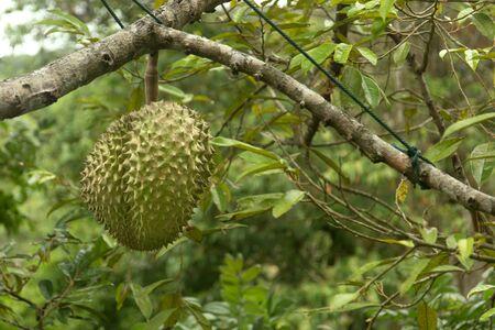 Fresh durian fruit on tree. Tropical asian fruit. Stockfoto
