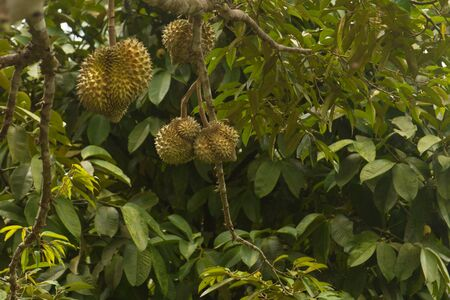 Fresh durian fruit on tree. Tropical asian fruit