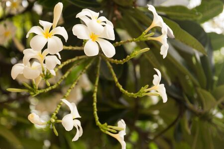 Tropical white frangipani flowers on green leaves background. Close up plumeria tree