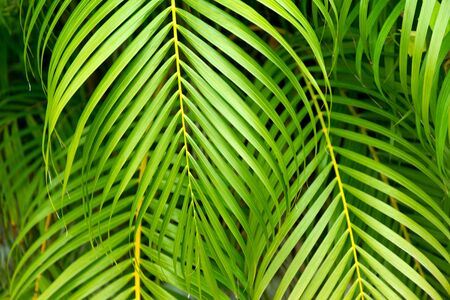 Tropical green palm closeup leaves background