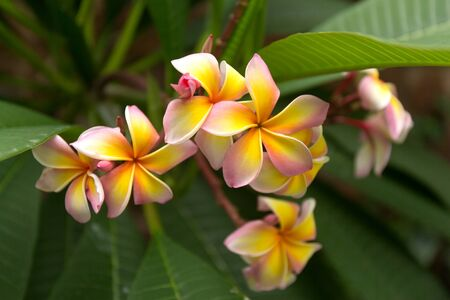 Tropical pink and yellow frangipani flowers on green leaves background. Close up plumeria tree
