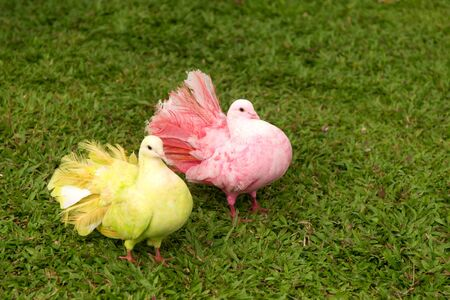 Pair of doves on green grass background. Couple in love of colorful pigeons