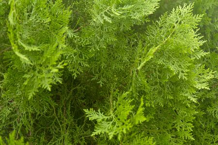 Green thuja branches with needles. Nature Christmas background. Evergreen coniferous tree. Stock fotó