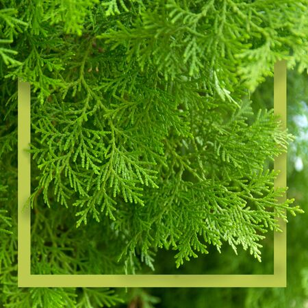 Green thuja branches with needles. Nature Christmas banner. Green frame with copyspace. Stock fotó