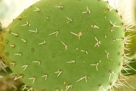 Prickly pear. Close up green cactus
