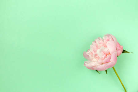Delicate pink peony flower on light green background.