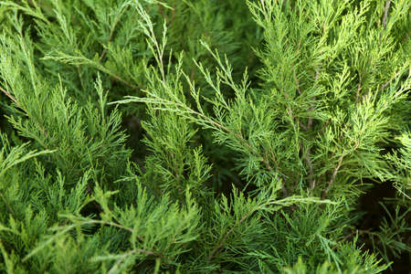 Macro background of Christmas green tree branches.