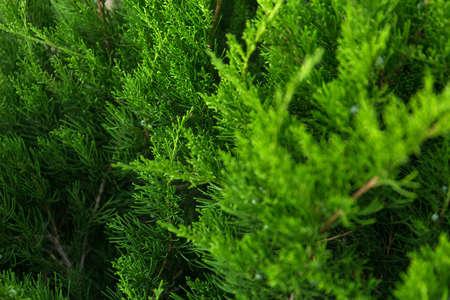 Coniferous green Christmas tree