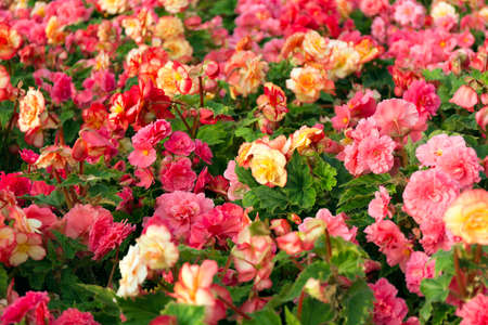 Pink and yellow beautiful begonia flowers field texture. Close up floral background. Zdjęcie Seryjne