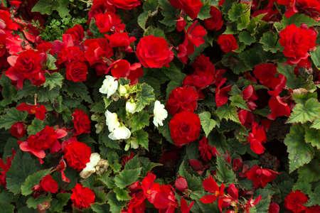 Red beautiful begonia flowers field texture. Close up floral background. Zdjęcie Seryjne