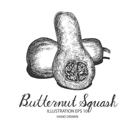 butternut squash: Butternut Squash hand drawn illustration by ink and pen sketch. Isolated vector design for fruit and vegetable products and health care goods.