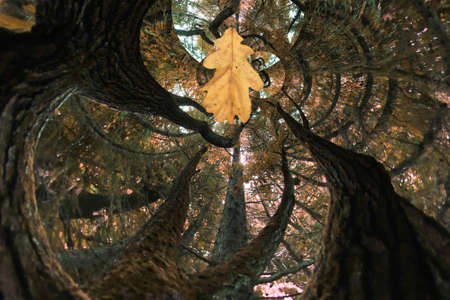 fabulous crooked tree and oak leaf 版權商用圖片
