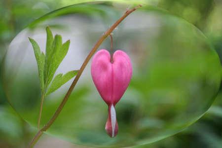 A bleeding heart flowerencased in a water bubble  photo
