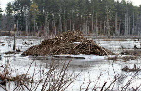 Beaver lodge in early Spring  photo