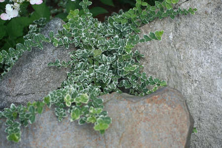 ground cover: Ground Cover On The Rocks Stock Photo