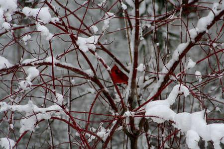 King Cardinal photo