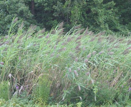 swaying: Swaying Wild Bamboo Stock Photo