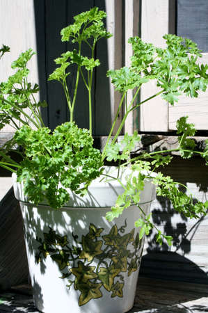 Parsley Pot