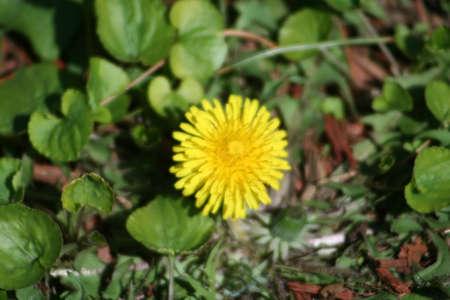 bark mulch: Dandelion
