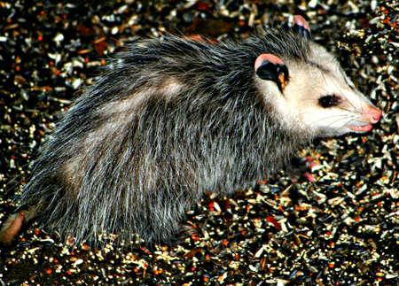 possum: Possum in the back yard Stock Photo