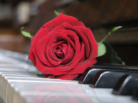 ... red rose resting on  piano keys .